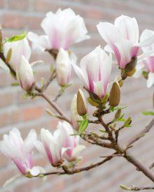 Magnolia – wiosenna królowa ogrodu